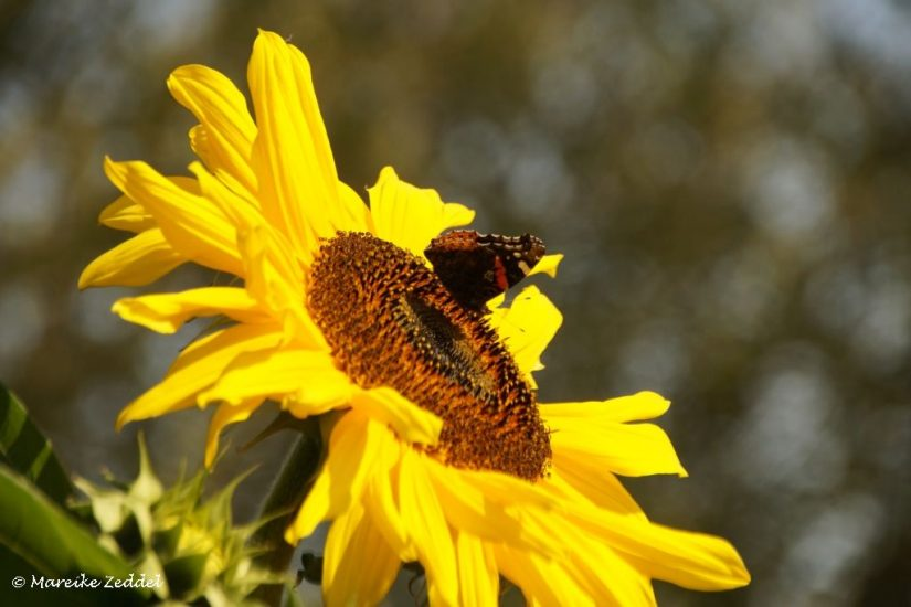 Schmetterling auf Sonnenblume im Gemeinschaftsgarten Domsee Ratzeburg