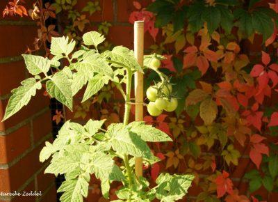 Tomatenpflanzen im Gemeinschaftsgarten am Domsee in Ratzeburg