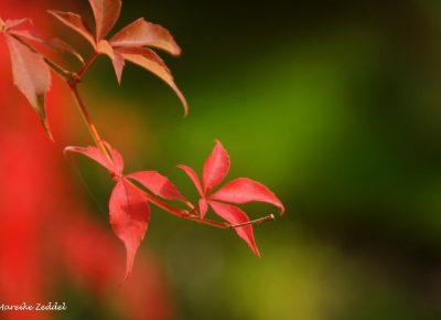 Rote Blätter im Sonnenlicht